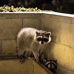 Treasure-Coast Raccoon Removal